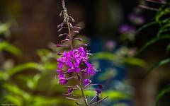 Purple - 3480 (YᗩSᗰIᘉᗴ HᗴᘉS +7 000 000 thx❀) Tags: purple flower macro bokeh bokehlicious beyondbokeh hensyasmine fleur flora wild wildflower nature canon