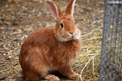 Lapin roux (MickaL Photographies) Tags: lapin roux nikond7200 zoom