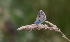 COMMON BLUE (Bradders62) Tags: commonblue canoneos7d alnersgorse dorset southwest britishbutterflies butterflies butterfly insects wildlife nature