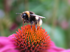 Job done - I'll bee off then ... :-) (☜✿☞ Bo ☜✿☞) Tags: bee insect garden outdoor backyard bug flower plant yard canong16 powershot macro bokeh closeup colourful pink orange black yellow gold green colour eye wing liftoff takeoff depart inflight nature england britain uk europe european july summer2017 one single solo echinacea