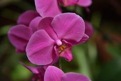Palmitos Park - Maspalomas  Gran Canaria (PierBia) Tags: palmitos park maspalomas gran canaria orchidea nikon d810 phalaenopsis fiore viola petali