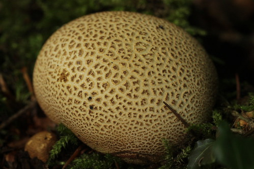 Common Earthball - Scleroderma citrinum