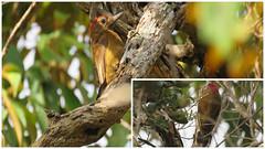 Picoides fumigatus - Carpintero Pardo - Smoky-brown Woodpecker - Picidae (yovanyochoa) Tags: picoides fumigatus carpintero pardo smokybrown woodpecker picidae aves de colombia avistamiento birding birdwatching birds yarumal