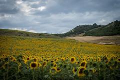 Seguidores del sol (javipaper) Tags: sunflowers girasoles elcerratopalentino cerrato campo field summer verano paisaje palencia