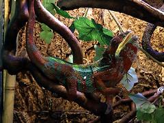 Chamäleon (robárt shake) Tags: chamäleon terrarium tiere animals nature male
