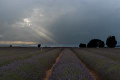 More Laser Beams (MrBlackSun) Tags: provence valensole lavender lavende nikon d810 landscape laser beams