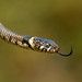 YOUNG GRASS SNAKE (RedRobin_05) Tags:
