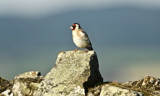Goldfinch on Abbey wall - Holy island