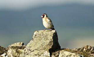 Goldfinch on Abbey wall - Holy island