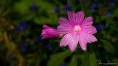 Pink Flower (Malva moschata 'Rosea') (BraCom (Bram)) Tags: bracom malvamoschata muskuskaasjeskruid kaasjeskruid flower bloem closeup pink rose vignette stellendam goereeoverflakkee zuidholland nederland southholland netherlands holland 169 widescreen bramvanbroekhoven nl