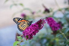 The Great Traveler (emerge13) Tags: monarch butterflies papillons summerdays summer été animal animalworld monarque monarchbutterflie lépidoptères insectes insects saariysqualitypictures thegalaxyhalloffame