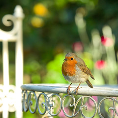 Have a Lovely Weekend! (paulapics2) Tags: robin garden pose outdoor nature depthoffield songbird bokeh wildbird europeanrobin canonef70300mmf456lisusm canoneos5dmarkiii cute robinredbreast feathers erithacusrubella sweet fauna perched