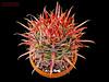 Ferocactus fordii (Nyxtofulakas) Tags: ferocactus fordii cactus succulent cactaceae spines summer mexico plant nature baja california