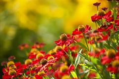 As Summer Moves On (paulapics2) Tags: coneflower fleur floral flora blümen colourful bright outdoor july hydehallgardens rhshydehall canoneos5dmarkiii canonef70300mmf456lisusm garden nature plant