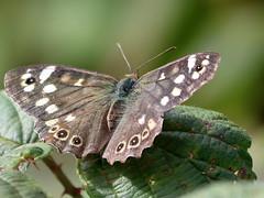 Speckled Wood Butterfly (robin denton) Tags: lincolnshirewildlifetrust wildlifetrust naturereserve butterfly butterflies speckledwood nature wildlife