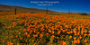 Panorama of Poppies Antelope Valley (Bridget Calip - Alluring Images) Tags: alluringimagescolorado antelopevalley bridgetcalip californiawildflowers californiapoppies blueskies fenceline orangewildflowers rollinghills springwildflowers thehillsarealive