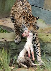 jaguar Rica Artis BB2A1915 (j.a.kok) Tags: jaguar pantheraonca blackjaguar zwartejaguar zoogdier zuidamerika southamerica cat kat mammal dier animal rica artis