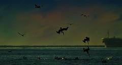 The Hunt (beachpeepsrus) Tags: birds beach alamitosbay water california color dawn flight pelican s
