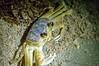 Siri (ruimc77) Tags: nikon d3200 nikkor afs 1855mm f3556g siri sirí crab caranguejo cancrejo praia playa beach atlantic ocean oceano atlantico atlântico atlántico redonda icapuí icapui ce ceara ceará brasil brazil nordeste noite noche night low light animal nature naturaleza natureza nikond3200 bresil brèsil 巴西 ブラジル البرازيل ברזיל brazilië brasilien бразилия brasile 브라질