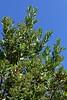 Heteromeles arbutifolia, CHRISTMAS BERRY/TOYON. (openspacer) Tags: heteromeles jasperridgebiologicalpreserve jrbp rosaceae shrub toyon
