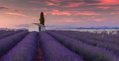 La Lumière du Soir Provençal - (numéro deux) (Jerry Fryer) Tags: france provence valensole midi lavender twilight sunset pink lone cottage cupressus sempervirens landscape panorama canon 5dsr