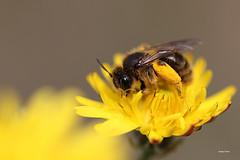 petite abeille ( UNIXetvous ) Tags: abeille butine jardin nature garden bee macro pollen nectar