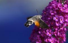 Beautiful from every angle! (SteveJM2009) Tags: hummingbirdhawkmoth hummingbird hawkmoth macroglossumstellatarum moth buddleia feeding flight detail macro dof focus august 2017 summer bournemouth dorset uk stevemaskell