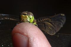 Hello There! - _TNY_2483 (In Explore 9/9 2017) (Calle Söderberg) Tags: macro canon canon5dmkii canonef100mmf28usmmacro canoneos5dmarkii raynox dcr250 flash meike mk300 glassdiffusor blackbackground insect odonata libellulidae sympetrum vulgatum darter vagrantdarter trollslända ängstrollslända tegelrödängstrollslända finger thumb onfinger happy portrait head face smile peeking nail yellow segeltrollslända f22