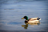 Anade real (Chema Collado) Tags: pato laguna anade azulon ruidera españa