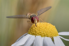 fly (Bea Antoni) Tags: insekt insect canon tamron makro macro closeup summer sommer natur nature blume flower hoverfly schwebfliege fliege fly