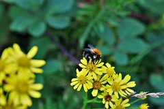 busy bee (stellagrimsdale) Tags: yellow yellowflower bee green pollen hummel bumblebee
