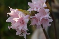 Amaryllis (Traveling with Simone) Tags: amaryllis fleur flower pink rose fleuraison gouttes drops water eau droplets