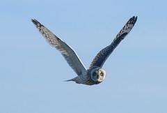 Short-eared owl (ewan.osullivan) Tags: bird orkney shortearedowl asioflammeus owl southronaldsay