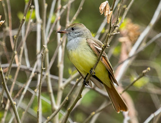IMG_1583  Great-crested Flycatcher