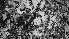 Macaco prego (izaletetavares) Tags: macaco macacoprego monkey animals animais animal ambiente amazing animalplanet fauna flora free foto flickr fofo selvagem cool canon cute canont3i fotografiadenatureza fotografiadeaves fotografia verde vida vidaselvagem brasil nature natureza naturephotography naturephotos new nice nationalgeographic national nanatureza mato meioambiente livre life liberdade photo photography preservação photos preserve pássaro pássaros izaletetavares