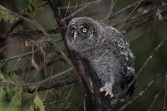 Great gray owl chick (knobby6) Tags: greatgrayowl birdofprey owl bird california nikon yosemite