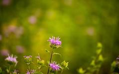 _U7A8638 (rpealit) Tags: scenery wildlife nature white lake preserve wild bergamot monarda