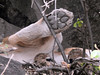 DSCN4621 (David Bygott) Tags: africa tanzania serengeti natgeoexpeditions 170718 lion rock kopje den cubs