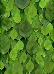 58482.01 Celastrus orbiculatus (horticultural art) Tags: horticulturalart celastrusorbiculatus celastrus bittersweet orientalbittersweet leaves pattern