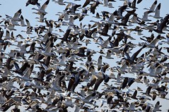 Lewis & Clark Park, MO 02-15 (151) (Fly By Knight) Tags: snow geese waterfowl migration
