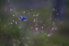 blue (Stefano Rugolo) Tags: stefanorugolo pentax k5 smcpentaxm50mmf17 commonblue blue bokeh butterfly summer hälsingland sweden sverige