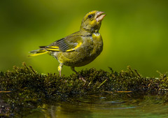 thirsty greenfinch (Bojan Ž.) Tags: thirsty greenfinch bird animal wildlife nature blue green orange red eye fauna colorful depthoffield wing abstract color outdoor park water white wild avian beautiful birding space long amazing blur broun exotic fascinant fast flight freedom enviromant perching stick sunlight tailed head lovely canoneos7dmarkii ef600mmf4lisusm canon birdwatcher canonflickraward