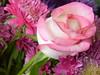 Pink (bozhin.karaivanov) Tags: flower растение flores planta цветя blume роза rosa blumen pflanze plant цвете rose flowers plantă