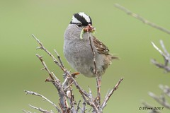 IMG_6936 white crowned sparrow (starc283) Tags: sparrow starc283 canon canon7d nature naturesfinest bird birding birds outdoors outdoor flickr flicker whitecrownedsparrow