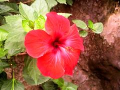 Hibiscus (jean-daniel david) Tags: fleur hibiscus rouge closeup nature