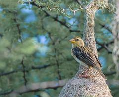 baya weaver (Ploceus philippinus)- female (@nikondxfx (instagram)) Tags: birdphotography d750 delhi faridabad mangar ncr nikon sunday weekend female weaver bird nest baya ploceusphilippinus hanging retort