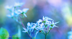 the wild delicate (frederic.gombert) Tags: wild dry countryside color plant flower flowers delicate blue white macro sony