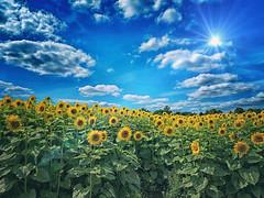 Sunflowers Redux (DeeMac) Tags: slidersunday sunflare vibrant ott overthetop hss wigginton hertfordshire herts