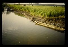 Mangrove Swamp Rice In Rokupr Region = ロクプル地区のマングローブ湿地稲
