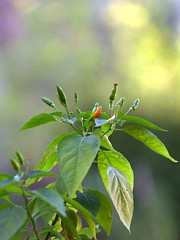 First chili pepper (Nelson-V.) Tags: